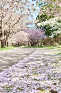 """春來到!去""""百櫻缭亂""""的北海道最南端""""松前賞花吧~"""