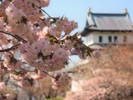 松前町商工観光課による、松前町の桜の開花予想が発表されました!