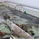 松前で揚がった魚(見学水槽室)