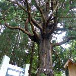 公園内でひときわ巨大な姥杉