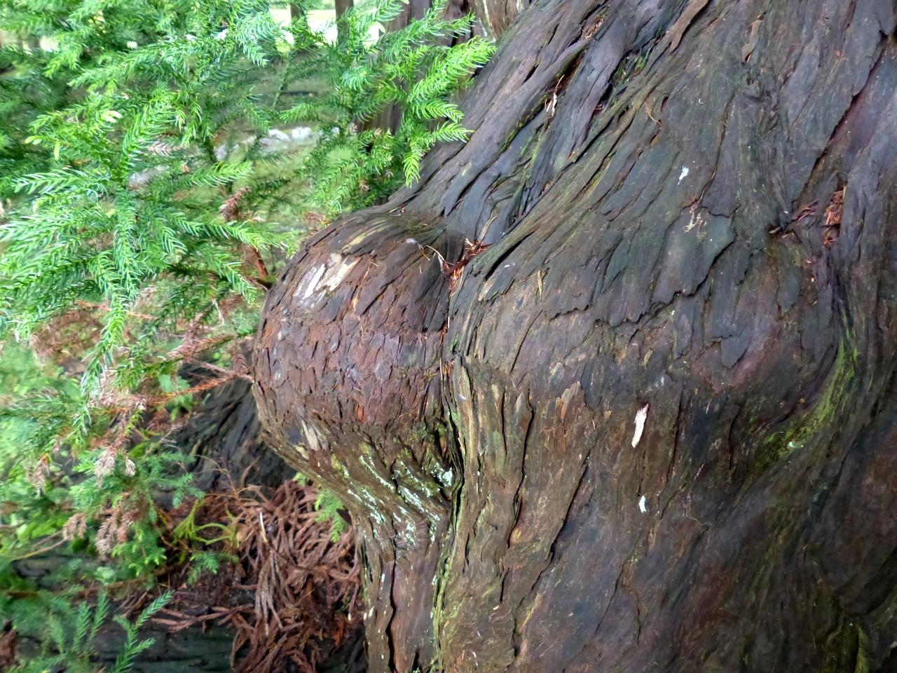 姥杉 (乳母杉)