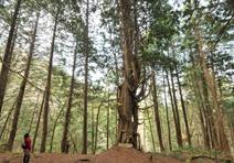 樹齢500年の「ヒバ爺さん」