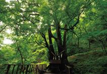 樹齢500年!連理の巨木、縁桂